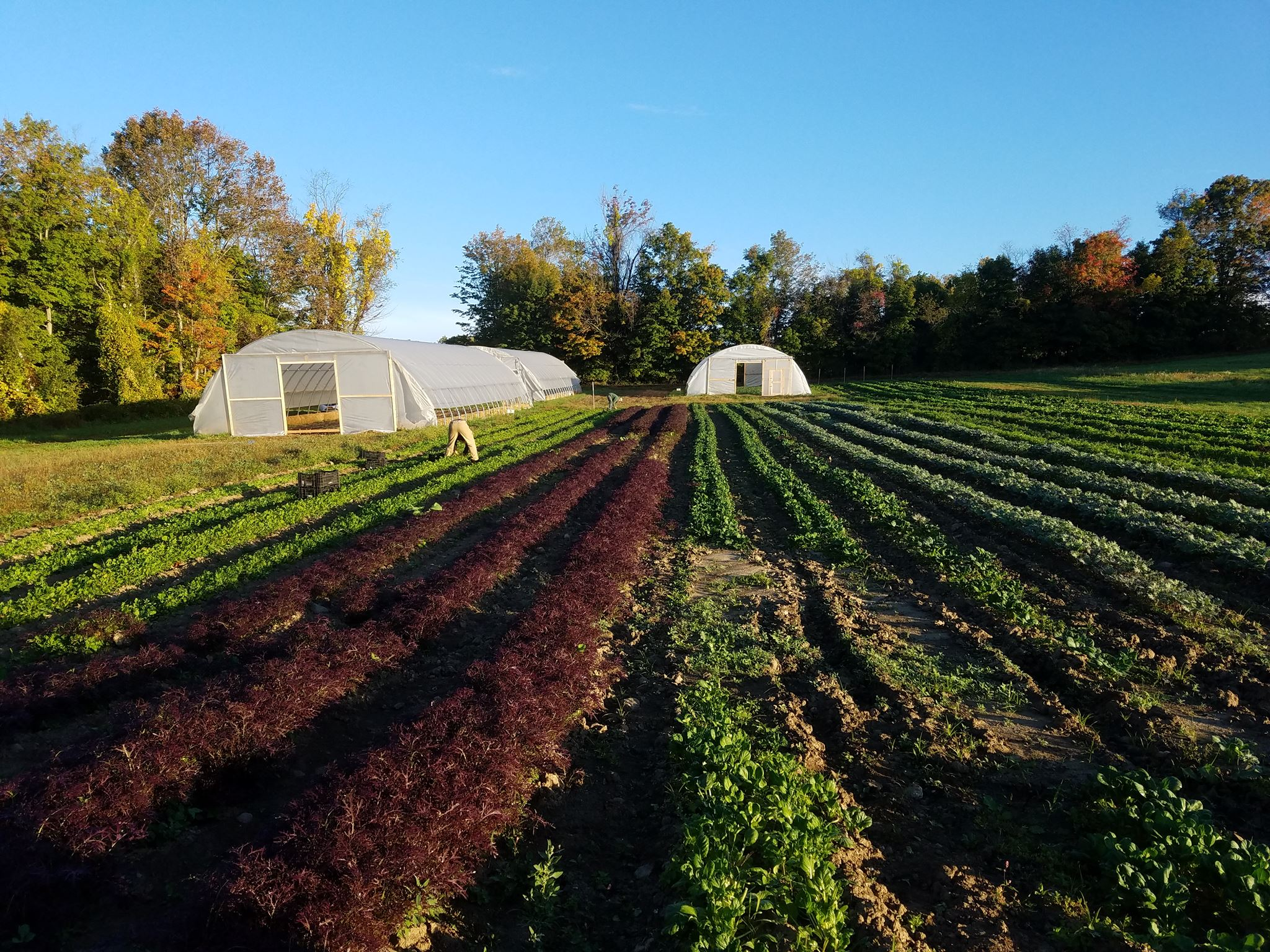 waldingfield farm - organic vegetable rows