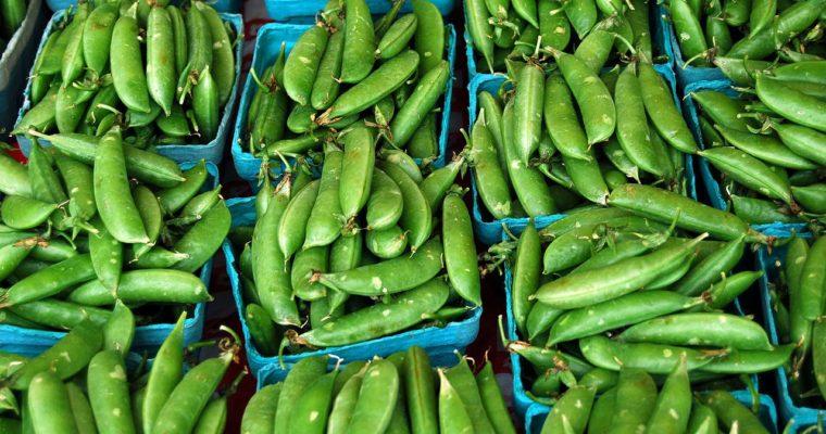 Spring Planting – Sugar Snap Peas